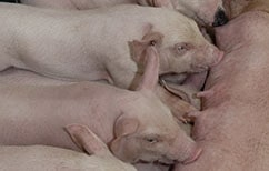 Should Semen be Checked on the Sow Farm – NO, but…